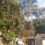 台風で倒れそうになったサクラの木を伐採しました